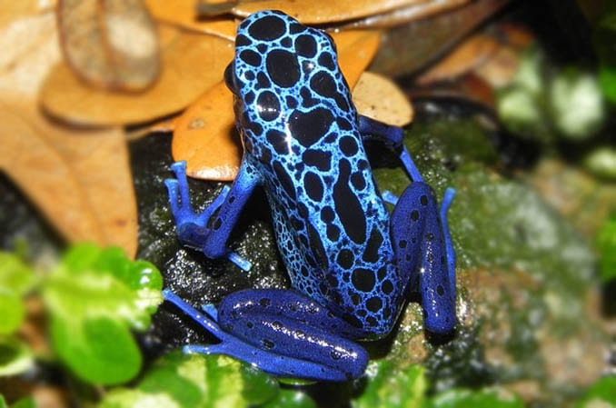 blauer baumsteiger frosch