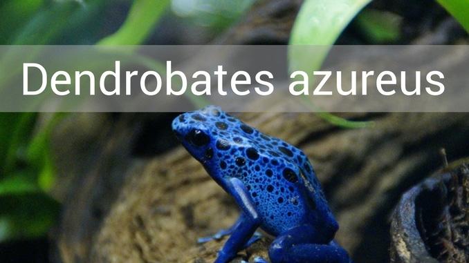 Dendrobates Azureus Blauer Frosch