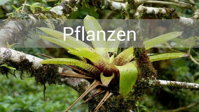 denrodabten pflanzen